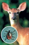 Deer and deer tick